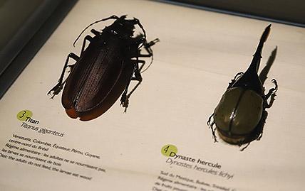 Exposition Coléoptères : Insectes Extraordinaires au Musée des Confluences à Lyon